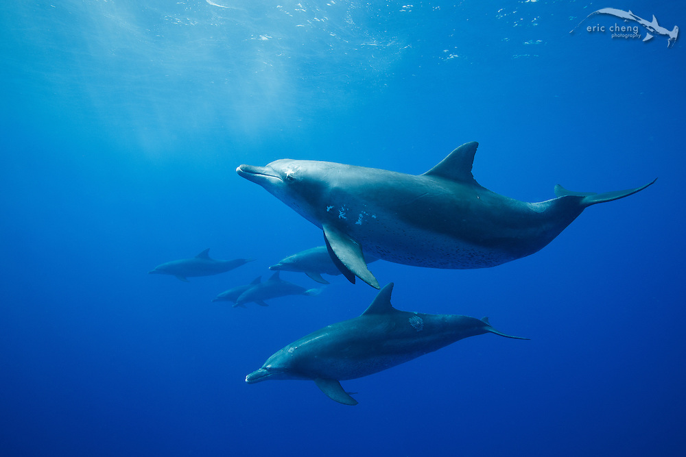 Indo-Pacific bottlenose dolphins (Tursiops aduncus) off of Chichijima in the Ogasawara Islands, Japan