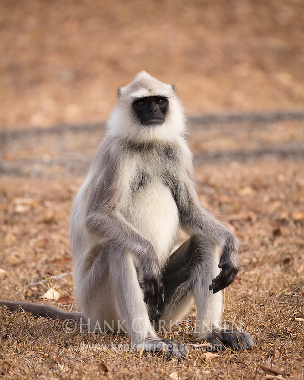 A tufted gray langur sits on the ground for a portrait, Mudumalai National Park, India.
