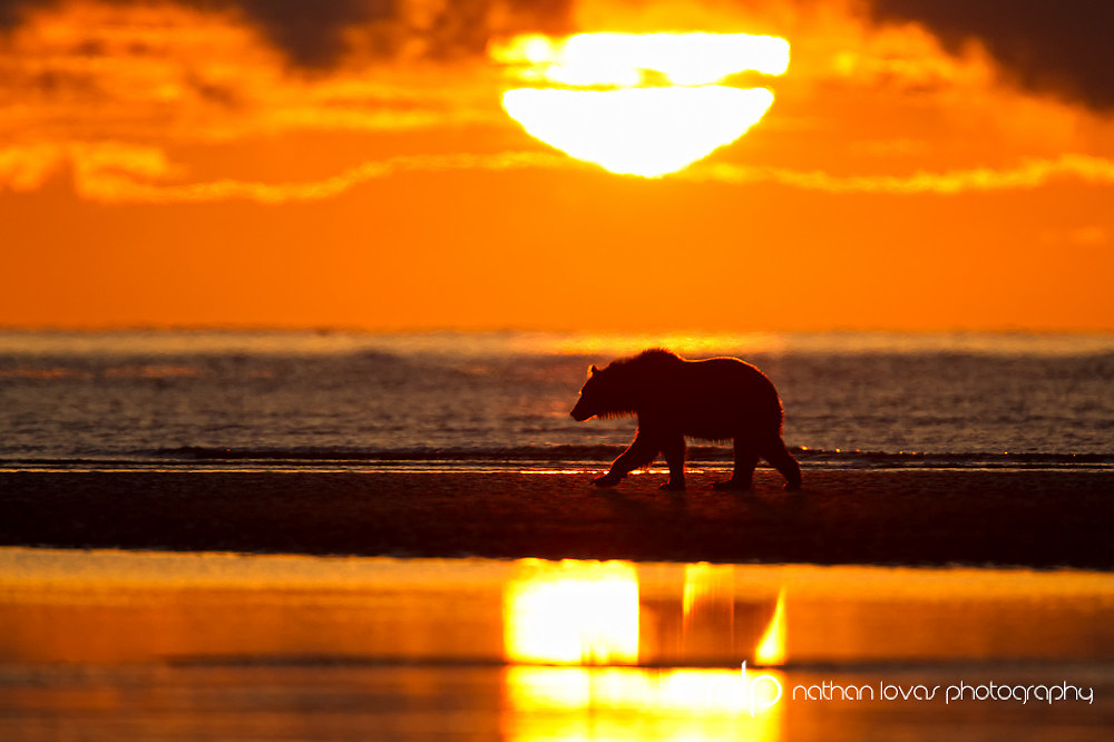 Brown bear walking on tidal flats silhouetted by morning light;  Lake Clark NP, Alaska in wild.