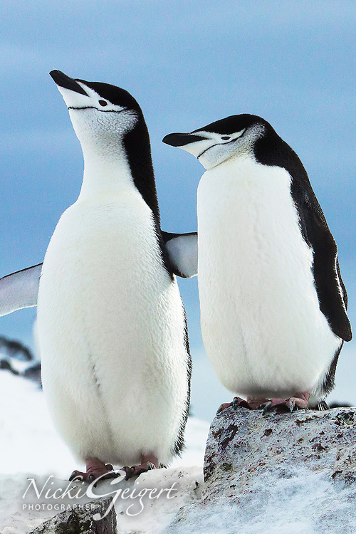 Animals, Orne Island, penguin couple.<br />