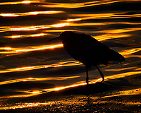 Silhouette of a Green Heron wading at the waters edge just after sunrise at Fort De Soto Park. Pinellas County, Florida Image taken with a Fuji X-T2 camera and 100-400 mm OIS lens (ISO 200, 400 mm, f/16, 1/250 sec).
