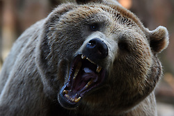 July 20, 2017 - Madrid, Madrid, Spain - A Brown bear pictured waiting for food at Madrid zoo. (Credit Image: © Jorge Sanz/Pacific Press via ZUMA Wire)