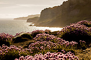 Thrift on sea cliffs at Kimmeridge looking towards Gad Cliff. Dorset, UK.