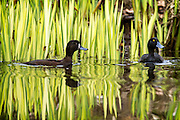 a male and female scaup on a pond, New Zealand