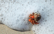 Hermit Crab (Coenobita compressus) in surf, Quesera Beach, Curu Wildlife Refuge, Costa Rica. <br /> <br /> For pricing click on ADD TO CART (above). We accept payments via PayPal.