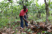 Prince, weeds the area round his Cocoa trees. ..Prince is an Agricultural Extension Youth Volunteer,  who speaks to young people about the potential cocoa farming has to offer them a secure livelihood...He passes on what he has already learnt through the Cadbury Cocoa Partnership and soon he will begin hosting training sessions at a new demonstration garden, which has been designed so that young people can learn about cocoa farming techniques and to encourage an enthusiasm for the industry.