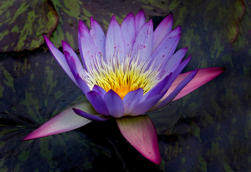 Water lily at the Lily Pond.