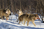 Gray wolves  (Canis lupus) in winter habitat. Captive animals.