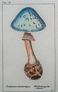 "Original mushroom print.This print has the original frame.It is marked ""Tom IV"" on the top and ""Pavillon"" on the bottom. The mushroom is in color and titled ""Gichtmorchelartiger Pluttchenpilz"""