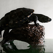 This is a juvenile 10cm Chinese pond turtle (Mauremys reevesii) standing on a rock in his terrarium. This species is semiaquatic in the wild, found in marshes, ponds, streams and similar bodies of shallow water. It is listed as Endangered on the IUCN Red List, threatened by several causes, including competition from introduced species, loss of habitat, and use in Chinese medicine. This species is also popular in the global pet trade. This individual was found on a road in Japan, far from water, when it was only 2.8cm, perhaps picked up and transported by a crow shortly after birth. Though the species had earlier been considered native to Japan, genetic testing in recent years suggests multiple introductions from outside Japan.