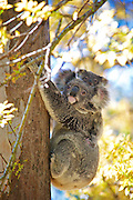 A mother Koala (Phascolarctos cinereus) and joey sitting in a Eucalyptus tree.