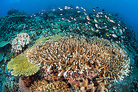 Damsels and Healthy Table Corals..Shot in Indonesia..