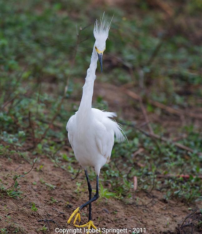 Snowy Egret.  (Egretta thula), Courtenay, Matto Grosso, Brazil, Isobel Springett