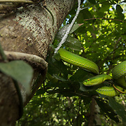 White-lipped Pit Viper (Trimeresurus albolabris) adult female in situ in Kaeng Krachan national park, Thailand