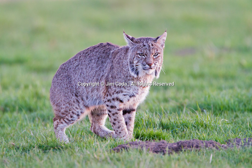 A bobcat sits down to wait for a gopher or other rodent to show its head in Point Reyes National Seashore.