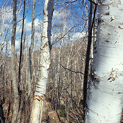 Livermore, NH.Paper birch trees repopulate the site of the former mill town of Livermore, NH in the White Mountain National Forest.