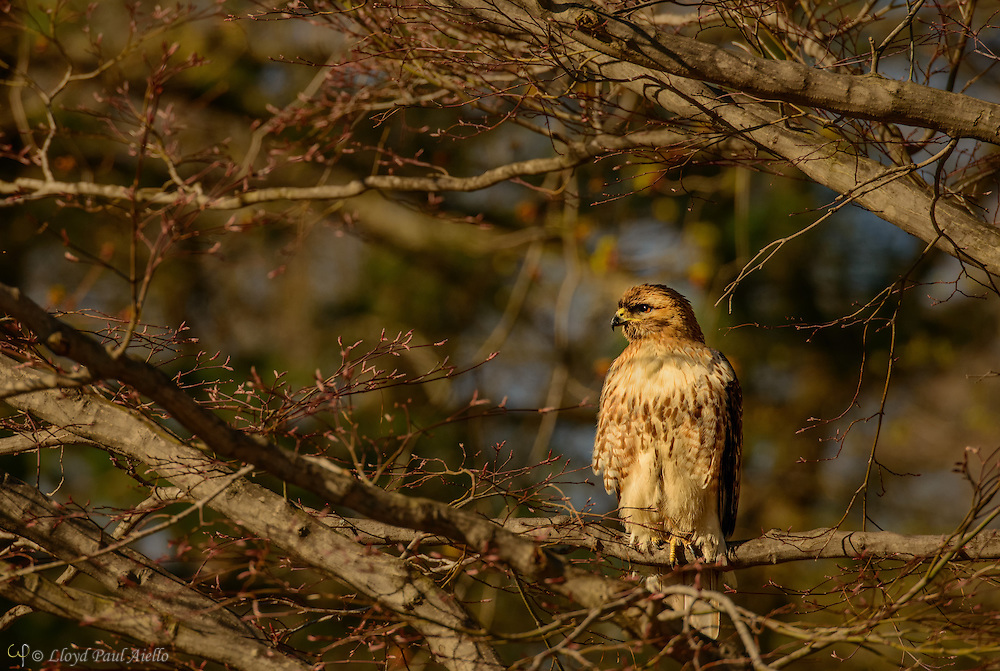 "The Red-tailed Hawk (Buteo jamaicensis), also sometimes known as a ""chickenhawk"", is one of the most common buteos in North America.  These hawks breed throughout most of North America, from western Alaska and northern Canada to as far south as Panama and the West Indies.  There are fourteen recognized subspecies, which vary in appearance and range. The Red-tail typically has a wingspan of 43 to 57 inches, being 18 to 26 inches in length and weighing 1.5 to 3.5 pounds, thus making it one of the largest members of the genus Buteo in North America."