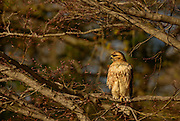 """The Red-tailed Hawk (Buteo jamaicensis), also sometimes known as a """"chickenhawk"""", is one of the most common buteos in North America.  These hawks breed throughout most of North America, from western Alaska and northern Canada to as far south as Panama and the West Indies.  There are fourteen recognized subspecies, which vary in appearance and range. The Red-tail typically has a wingspan of 43 to 57 inches, being 18 to 26 inches in length and weighing 1.5 to 3.5 pounds, thus making it one of the largest members of the genus Buteo in North America."""