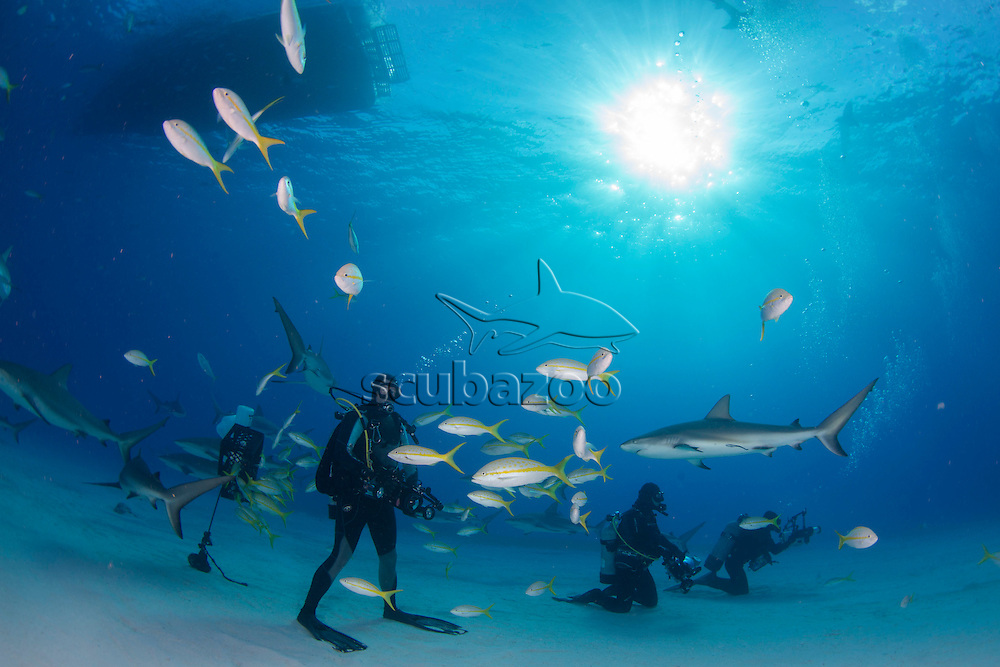 Sharks and yellow tail snappers swimming pass scuba divers, Bahamas