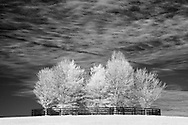 Fenced in trees surrounded by a horse pasture in rural Kentucky.  Infrared (IR) photograph by fine art photographer Michael Kloth. Black and white infrared photographs