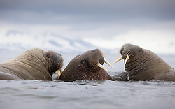 Group of Walrus (Odobenus rosmarus) in Spitsbergen, Svalbard