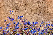 Canterbury Bells (Phacelia campanularia) against granite boulder, Jumbo Rocks, Joshua Tree National Park, California