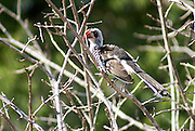 Red-billed Hornbill (Tockus erythrorhynchus) on a tree Photographed in Tanzania