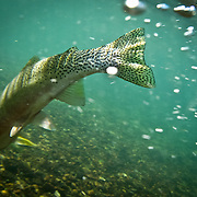A cutthroat trout swims away after being caught on the Blackfoot river, Montana.