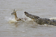 Nile Crocodile<br /> Crocodylus niloticus<br /> Maasai Mara Reserve, Kenya<br /> A crocodile attacks a Thomson's gazelle crossing the Mara River