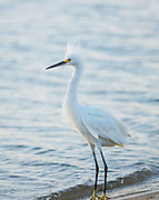 Finally, the beach is his with the other Egrets driven off. For a moment, the setting sun glows through his feathers while still in a defensive position.