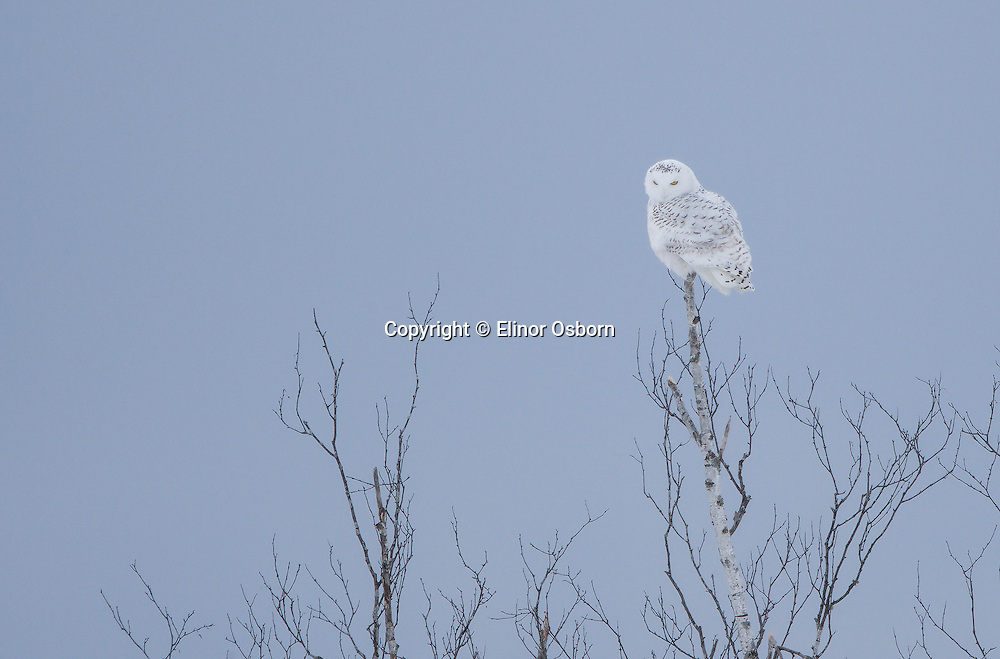 Snowy Owl perched in birches