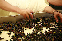 at Domaine du Vissoux, Beaujolais.Domaine du Vissoux, Beaujolais...hands of Pierre Chermette, separating good from bad grapes.September 14, 2007..Photo by Owen Franken for the NY Times.