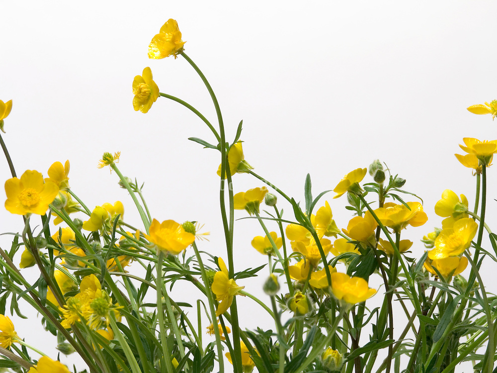 detail of a bouquet of buttercup flowers