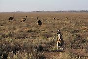 Pleistocene human footprints: Willandra Lakes in southeastern Australia..Kangaroos and Emu in Lake Mungo, Willandra Lakes World Heritage area.  Groups of wild kangaroo and emu's run through the park added to the World Heritage in 1981.