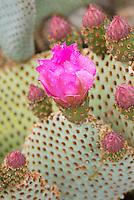 Beavertail Cactus (Opuntia basilaris) flowers, Sonoran Desert, Anza-Borrego State Park California