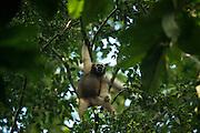 Hoolock Gibbon (Hoolock hoolock) female<br /> Gibbon Wildlife Sanctuary<br /> Jorhat<br /> Assam<br /> North East India