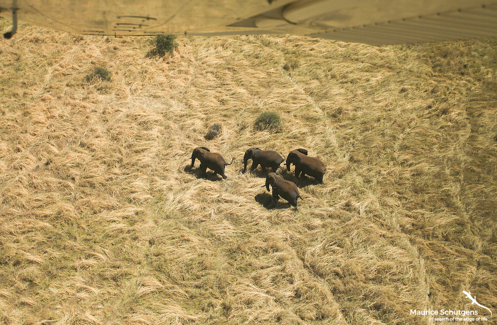 Its good to know where elephants go so as better to understand how we can protect them. Sometimes you have to go and find them from a plane. This group of well known elephants was photographed in Meru National Park, Kenya