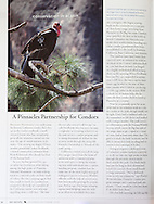 Image of a California Condor in Pinnacles National Park used for an article about the rehabilitation and release of Condors.