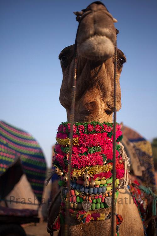 A camel sports colourful plastic jewelry at the fair grounds in Pushkar, India, November 6, 2011.  Photographer: Prashanth Vishwanathan