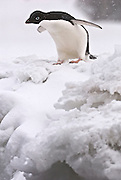 Adelie penguin considers jumping of the ice shelf.