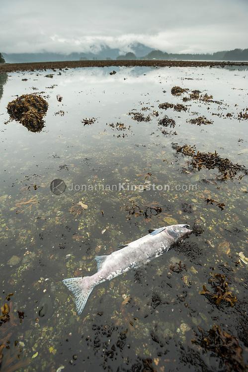 A dead salmon in a tidal pool in Sitka, Alaska.