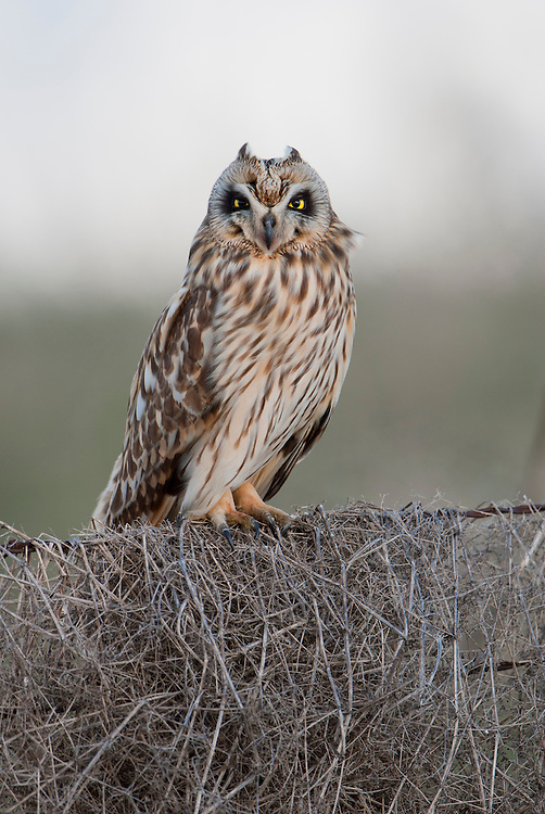 Perched Short-eared Owl, Montana