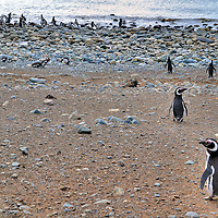 Welcoming Committee at Penguin Reserve on Magdalena Island, Chile<br /> Visiting Magdalena Island is truly a unique experience. Walking tours of the island are offered from mid-October through mid-April.  As your boat pulls up to shore, an envoy of Magellanic penguins rushes towards shore to greet you. You walk along a roped off trail yet penguins are all around you.  You are told they always have the right away so you must stop and let them pass by.  The birds seem to know the rules and act surprised if you get in their way.