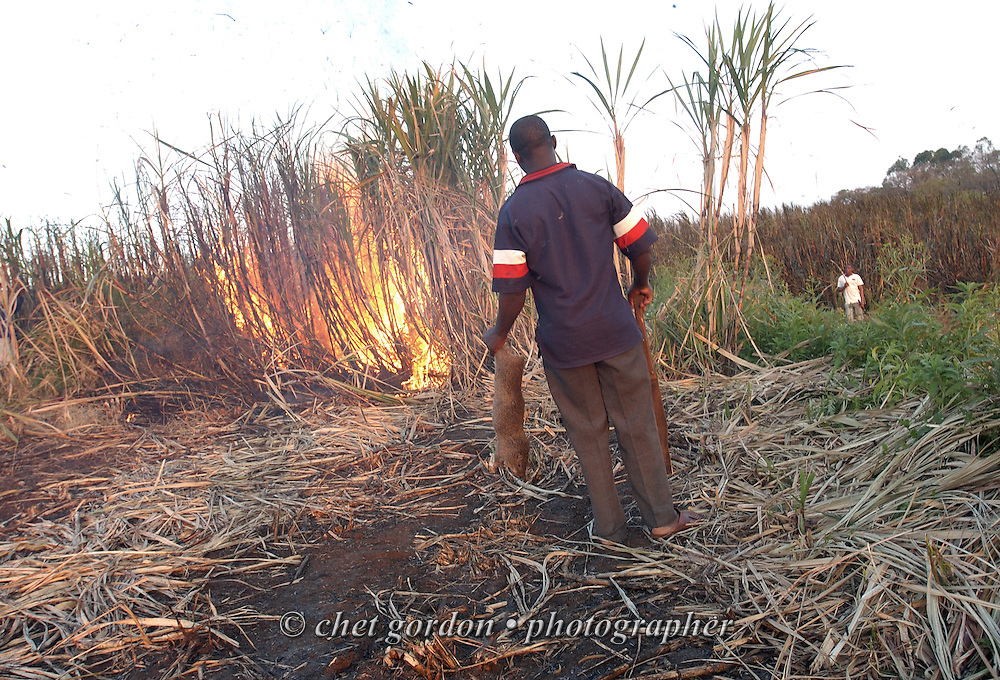 "EMPANGENI, SOUTH AFRICA.  A sugarcane cutter holds a dead cane rat during a ""burn"" of underbrush in a sugarcane field in Empangeni, South Africa on Sunday evening, September 10, 2006.    © www.chetgordon.com"