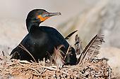 Cormorants & Darters
