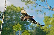 Turkey vulture in flight - Cathartes aura <br /> Sioux Narrows<br /> Ontario<br /> Canada