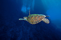 Green Sea Turtle and Coral Windows.Shot in West Papua Province, Indonesia