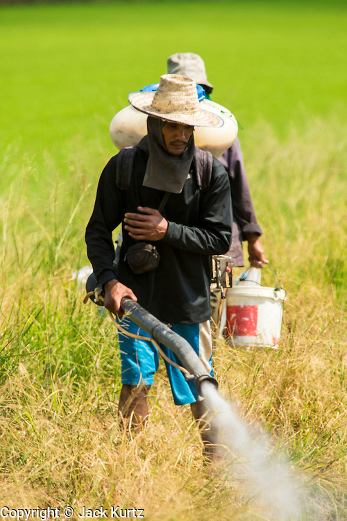 "15 NOVEMBER 2012 - PATHUM THANI, PATHUM THANI, THAILAND: Workers spray pesticides on a field of rice near Pathum Thani. The Thai government under Prime Minister Yingluck Shinawatra has launched an expansive price support ""scheme"" for rice farmers. The government is buying rice from farmers and warehousing it until world rice prices increase. Rice farmers, the backbone of rural Thailand, like the plan, but exporters do not because they are afraid Thailand is losing its position as the world's #1 rice exporter to Vietnam, which has significantly improved the quality and quantity of its rice. India is also exporting more and more of its rice. The stockpiling of rice is also leading to a shortage of suitable warehouse space. The Prime Minister and her government face a censure debate and possible no confidence vote later this month that could end the scheme or bring down the government.    PHOTO BY JACK KURTZ"