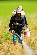 """15 NOVEMBER 2012 - PATHUM THANI, PATHUM THANI, THAILAND: Workers spray pesticides on a field of rice near Pathum Thani. The Thai government under Prime Minister Yingluck Shinawatra has launched an expansive price support """"scheme"""" for rice farmers. The government is buying rice from farmers and warehousing it until world rice prices increase. Rice farmers, the backbone of rural Thailand, like the plan, but exporters do not because they are afraid Thailand is losing its position as the world's #1 rice exporter to Vietnam, which has significantly improved the quality and quantity of its rice. India is also exporting more and more of its rice. The stockpiling of rice is also leading to a shortage of suitable warehouse space. The Prime Minister and her government face a censure debate and possible no confidence vote later this month that could end the scheme or bring down the government.    PHOTO BY JACK KURTZ"""