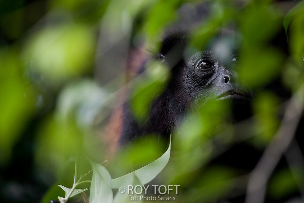 Mantled howler monkey (Alouatta palliata) hiding in the rainforest trees, Osa Peninsula, Costa Rica